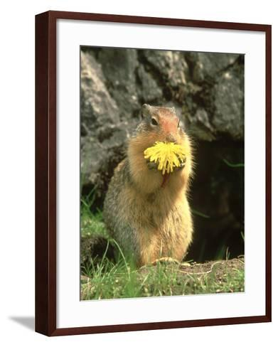 Columbian Ground Squirrel Eating Dandelion Jasper National Park, Canada-Adam Jones-Framed Art Print