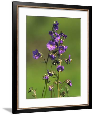 Jacobs-Ladder, Close-up of Flowers, June, UK-Mark Hamblin-Framed Art Print