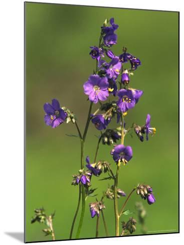 Jacobs-Ladder, Close-up of Flowers, June, UK-Mark Hamblin-Mounted Photographic Print