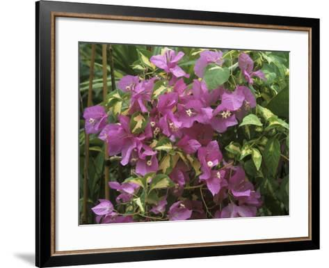 "Bougainvillea ""Turkish Delight"" Close-up of Flowers-Michele Lamontagne-Framed Art Print"