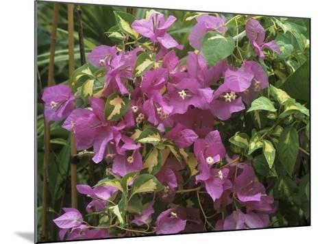 "Bougainvillea ""Turkish Delight"" Close-up of Flowers-Michele Lamontagne-Mounted Photographic Print"