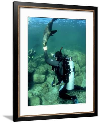 Diver with Californian Sea Lion, Mexico-Tobias Bernhard-Framed Art Print