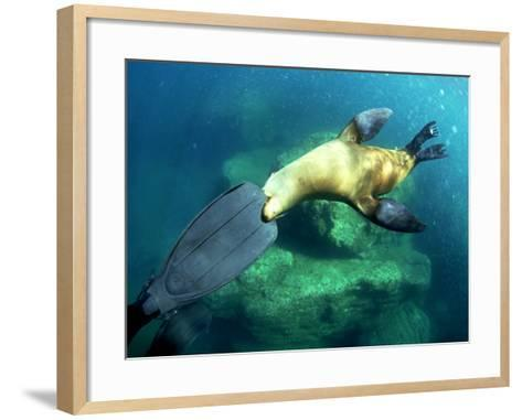 Diver Playing with Californian Sea Lion, Mexico-Tobias Bernhard-Framed Art Print