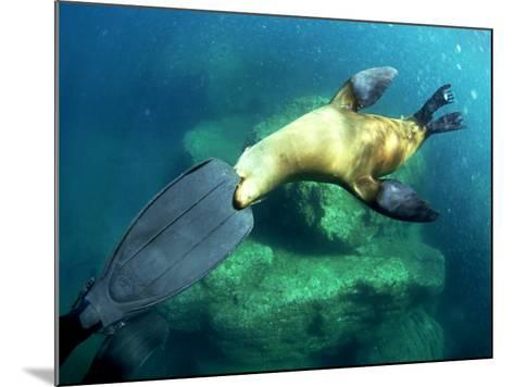 Diver Playing with Californian Sea Lion, Mexico-Tobias Bernhard-Mounted Photographic Print