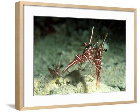 Hingeback Shrimp, Dancing, New Caledonia-Tobias Bernhard-Framed Art Print