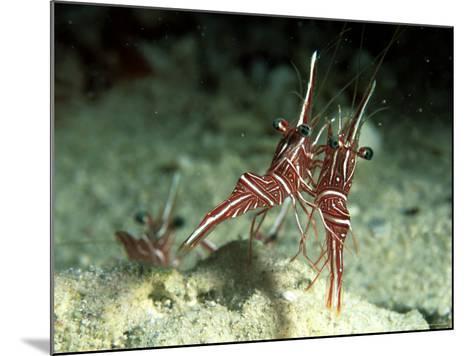 Hingeback Shrimp, Dancing, New Caledonia-Tobias Bernhard-Mounted Photographic Print
