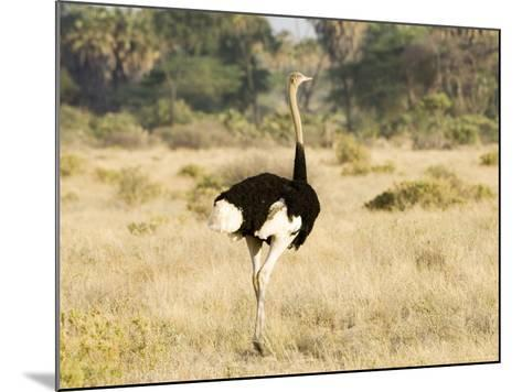 Ostrich, Male, Kenya-Mike Powles-Mounted Photographic Print