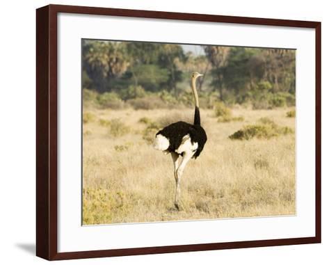 Ostrich, Male, Kenya-Mike Powles-Framed Art Print