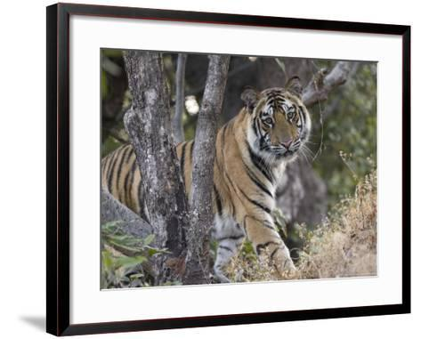 Bengal Tiger, Young Male Approaching from Around a Small Tree, Madhya Pradesh, India-Elliot Neep-Framed Art Print