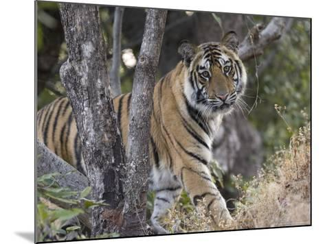 Bengal Tiger, Young Male Approaching from Around a Small Tree, Madhya Pradesh, India-Elliot Neep-Mounted Photographic Print