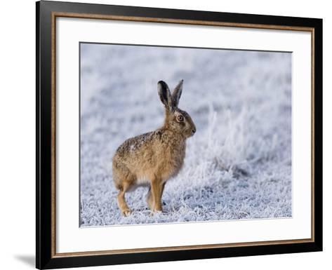 Common Hare, Standing in Haw-Frost Field, Lancashire, UK-Elliot Neep-Framed Art Print