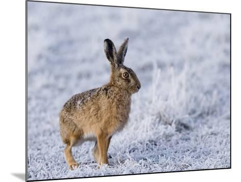Common Hare, Standing in Haw-Frost Field, Lancashire, UK-Elliot Neep-Mounted Photographic Print