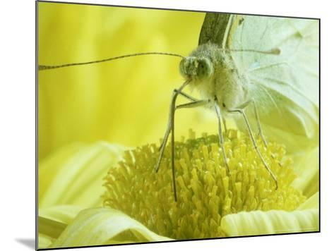 Cabbage White Butterfly, Pieris Brassicae-London Scientific Films-Mounted Photographic Print