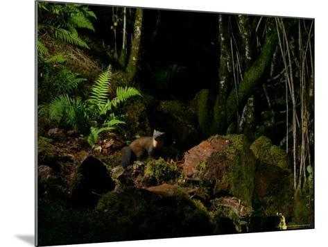 Pine Marten at Night, the Highlands, Inverness-Shire-Elliot Neep-Mounted Photographic Print