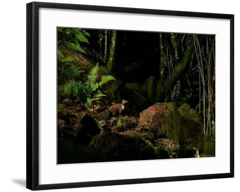Pine Marten at Night, the Highlands, Inverness-Shire-Elliot Neep-Framed Art Print