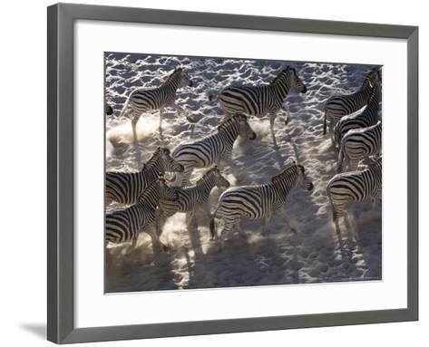 Burchells Zebra, Group Running, Botswana-Mike Powles-Framed Art Print