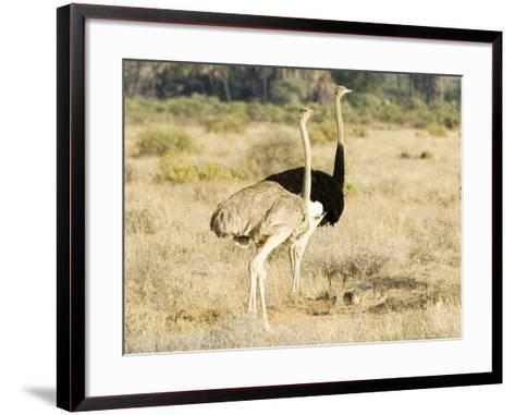Ostrich, Male and Female with Chicks, Kenya-Mike Powles-Framed Art Print