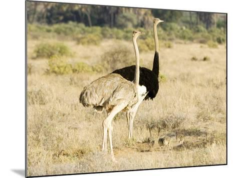 Ostrich, Male and Female with Chicks, Kenya-Mike Powles-Mounted Photographic Print