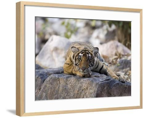 Bengal Tiger, 10 Month Old Cub Lying, India-Mike Powles-Framed Art Print