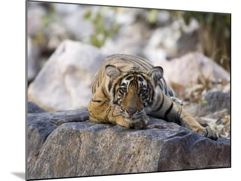 Bengal Tiger, 10 Month Old Cub Lying, India-Mike Powles-Mounted Photographic Print