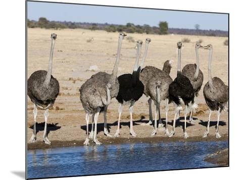 Ostrich, Male and Females Drinking, Botswana-Mike Powles-Mounted Photographic Print