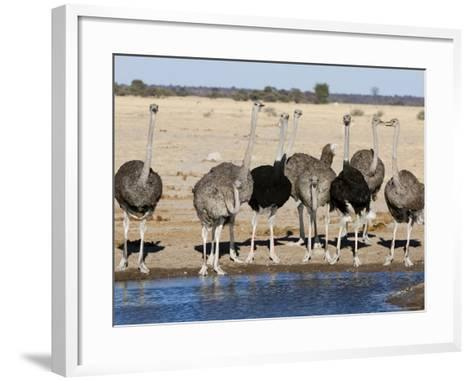 Ostrich, Male and Females Drinking, Botswana-Mike Powles-Framed Art Print