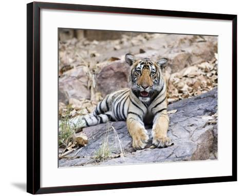 Bengal Tiger, 10 Month Old Cub, India-Mike Powles-Framed Art Print