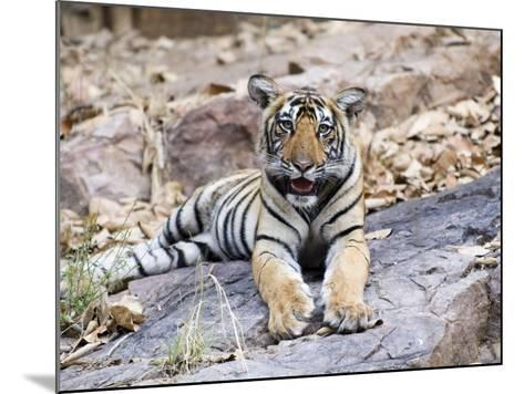 Bengal Tiger, 10 Month Old Cub, India-Mike Powles-Mounted Photographic Print