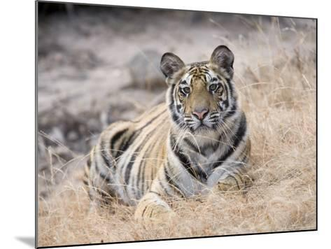 Bengal Tiger, Young Female Lying in Soft Grass, Madhya Pradesh, India-Elliot Neep-Mounted Photographic Print