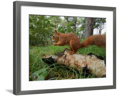 Red Squirrel, Eating, Lancashire, UK-Elliot Neep-Framed Art Print