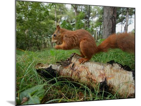 Red Squirrel, Eating, Lancashire, UK-Elliot Neep-Mounted Photographic Print