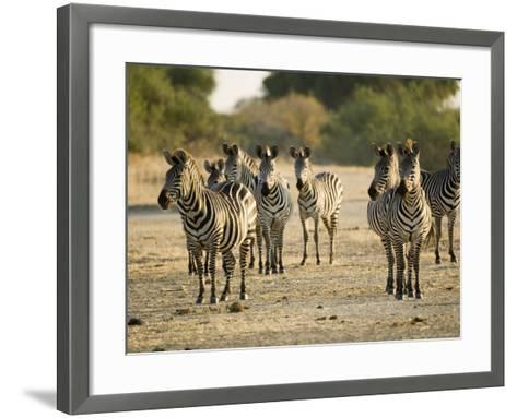 Crawshays Zebra, Small Group in Bush, Tanzania-Mike Powles-Framed Art Print
