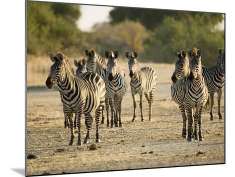 Crawshays Zebra, Small Group in Bush, Tanzania-Mike Powles-Mounted Photographic Print