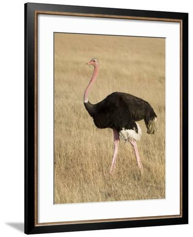 Ostrich, Male in Breeding Plumage, Kenya-Mike Powles-Framed Art Print
