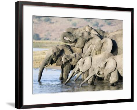African Elephant, Family Drinking, Botswana-Mike Powles-Framed Art Print
