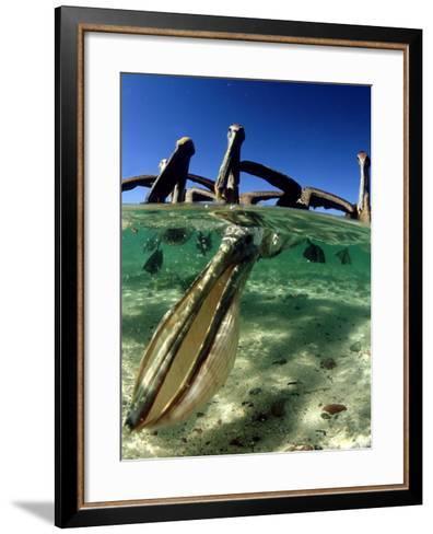 Brown Pelican, Fishing, Mexico-Tobias Bernhard-Framed Art Print