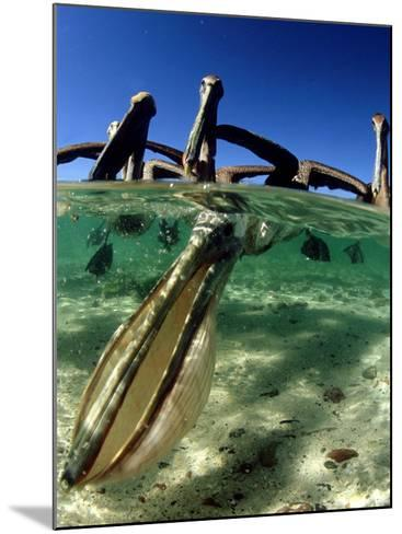 Brown Pelican, Fishing, Mexico-Tobias Bernhard-Mounted Photographic Print