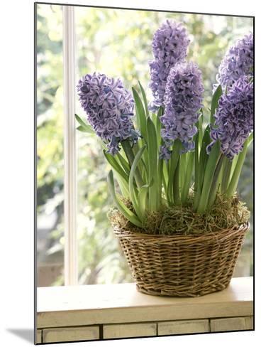 Hyacinthus (Hyacinth) in Basket on Windowsill-Lynne Brotchie-Mounted Photographic Print