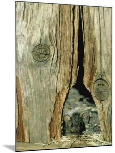 House Mouse-Liz Bomford-Mounted Photographic Print