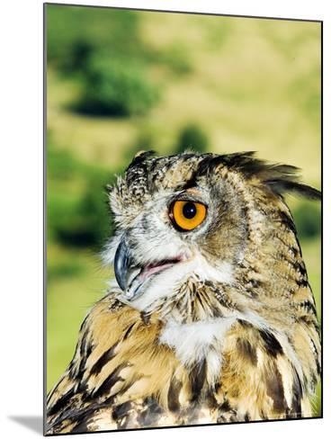 Eagle Owl, Portrait of Captive Adult, UK-Mike Powles-Mounted Photographic Print