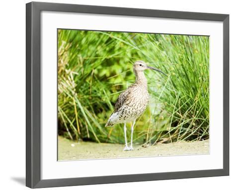 Curlew, Adult, UK-Mike Powles-Framed Art Print