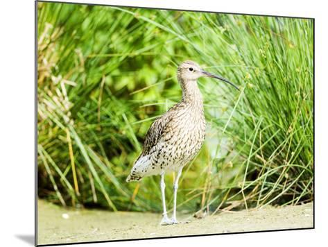 Curlew, Adult, UK-Mike Powles-Mounted Photographic Print