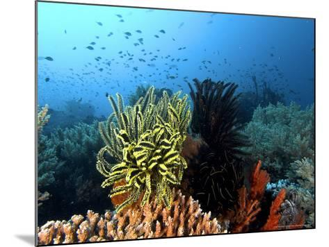 Feather Star, Komodo, Indonesia-Mark Webster-Mounted Photographic Print