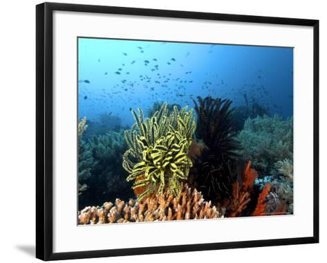 Feather Star, Komodo, Indonesia-Mark Webster-Framed Art Print