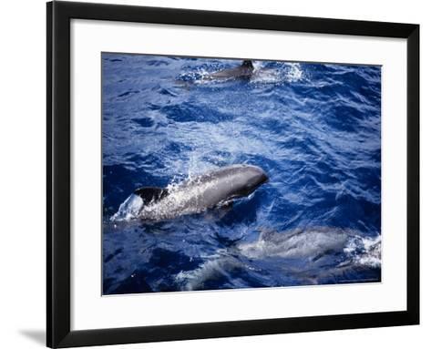 Melon-Headed Whale at Surface, Polynesia-Gerard Soury-Framed Art Print