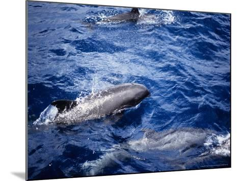 Melon-Headed Whale at Surface, Polynesia-Gerard Soury-Mounted Photographic Print