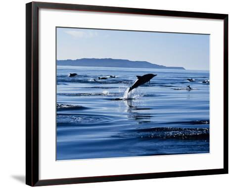 Long-Nosed Common Dolphin, Porpoising, Sea of Cortez-Gerard Soury-Framed Art Print