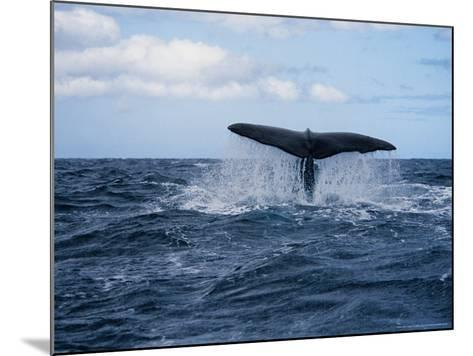 Sperm Whale, About to Dive, Portugal-Gerard Soury-Mounted Photographic Print