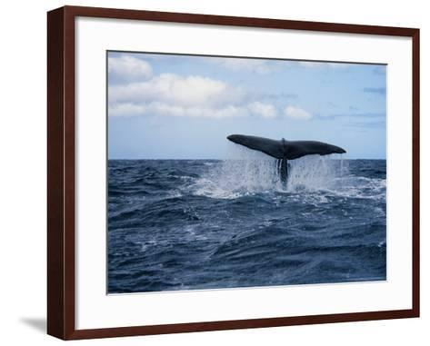 Sperm Whale, About to Dive, Portugal-Gerard Soury-Framed Art Print