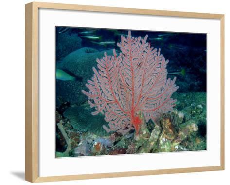 Gorgonian or Sea Fan, Solomon Islands-Karen Gowlett-holmes-Framed Art Print